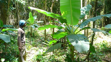 Plantains growing as an interim crop as cocoa plants take five years to mature. (Photo by Serge Etele)